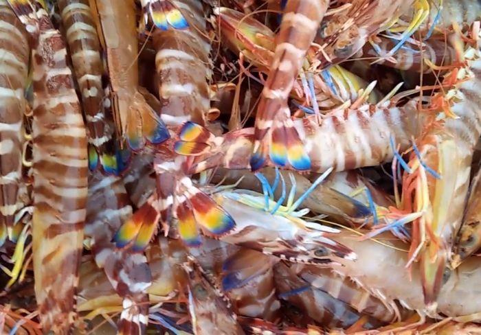 Tôm vằn rất thích hợp dùng để chế biến món tôm sốt Thái